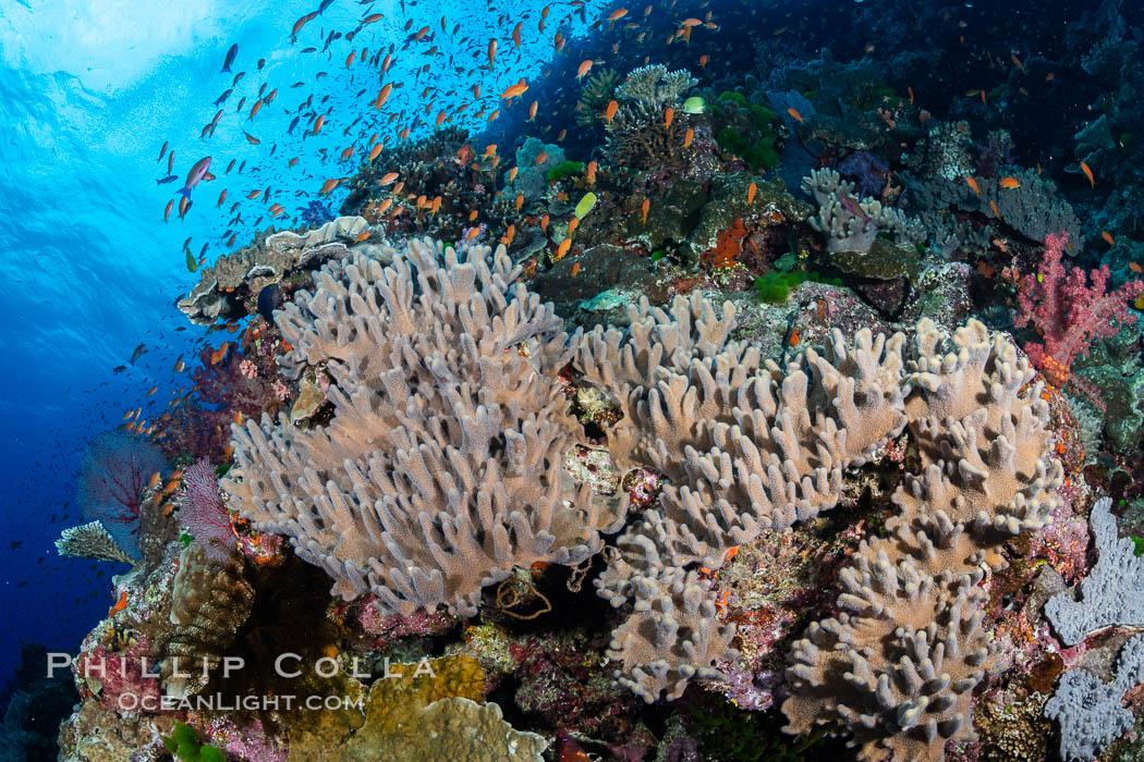 Leather coral, Sinularia sp., Fiji. Bligh Waters, Fiji, Sinularia, natural history stock photograph, photo id 34965