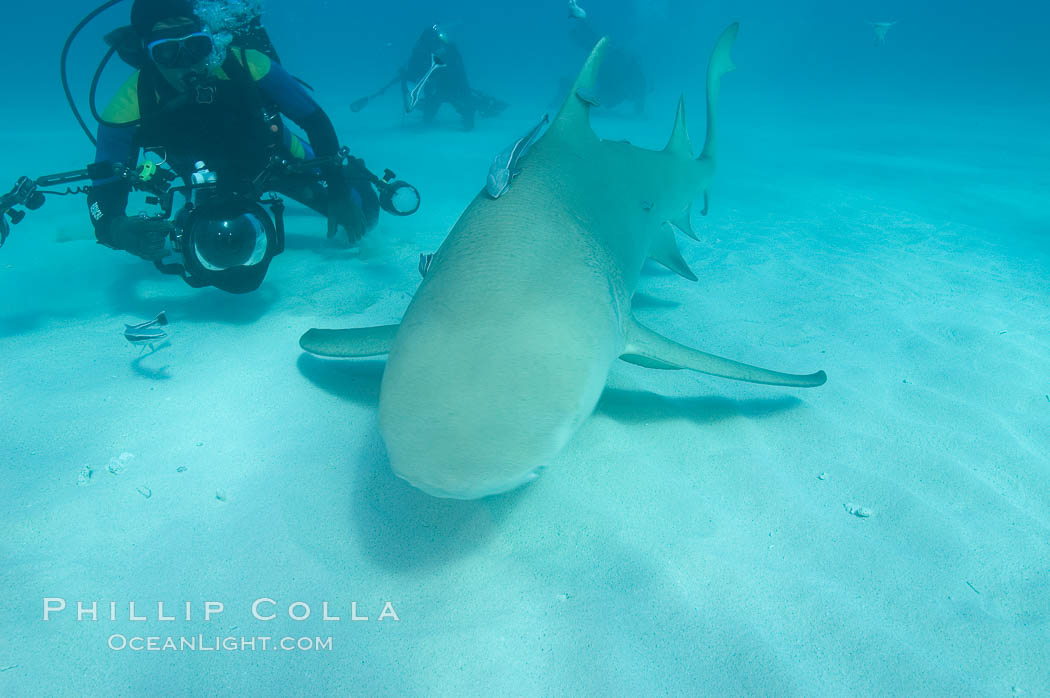 Lemon shark and photographer Jim Abernethy. Bahamas, Negaprion brevirostris, natural history stock photograph, photo id 10806
