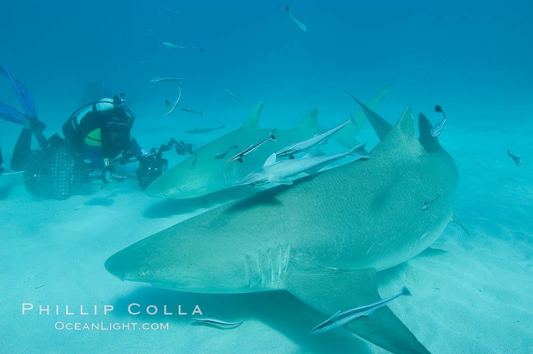 Lemon shark and photographer Jim Abernethy. Bahamas, Negaprion brevirostris, natural history stock photograph, photo id 10783