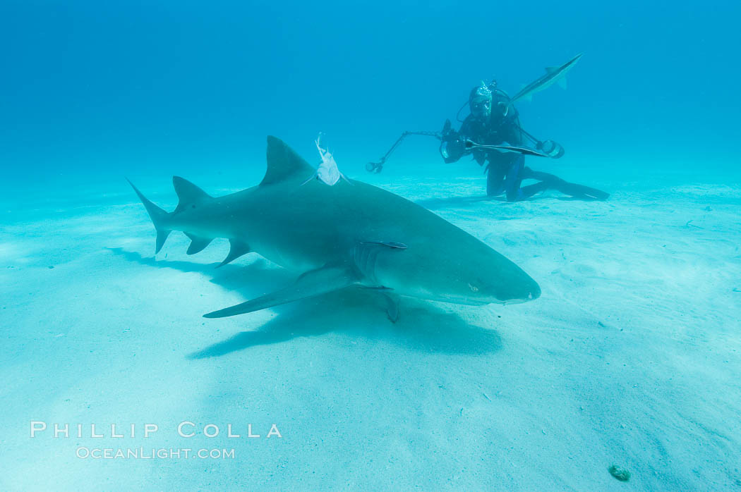 Lemon shark and photographer Ken Howard. Bahamas, Negaprion brevirostris, natural history stock photograph, photo id 10773