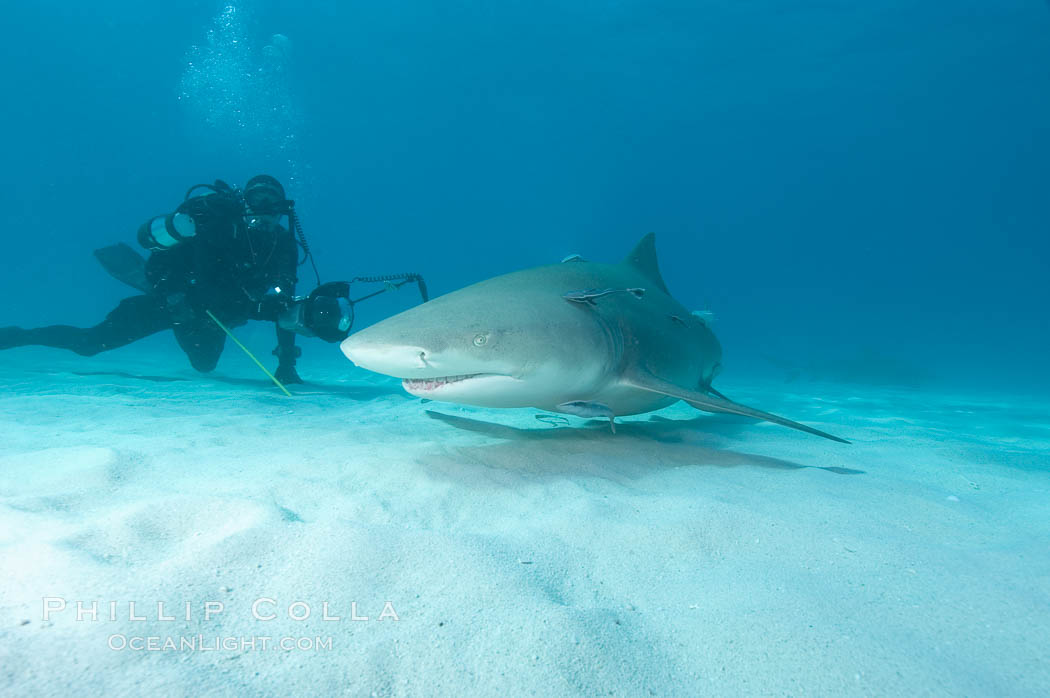 Lemon shark and photographer Keith Grundy. Bahamas, Negaprion brevirostris, natural history stock photograph, photo id 10777