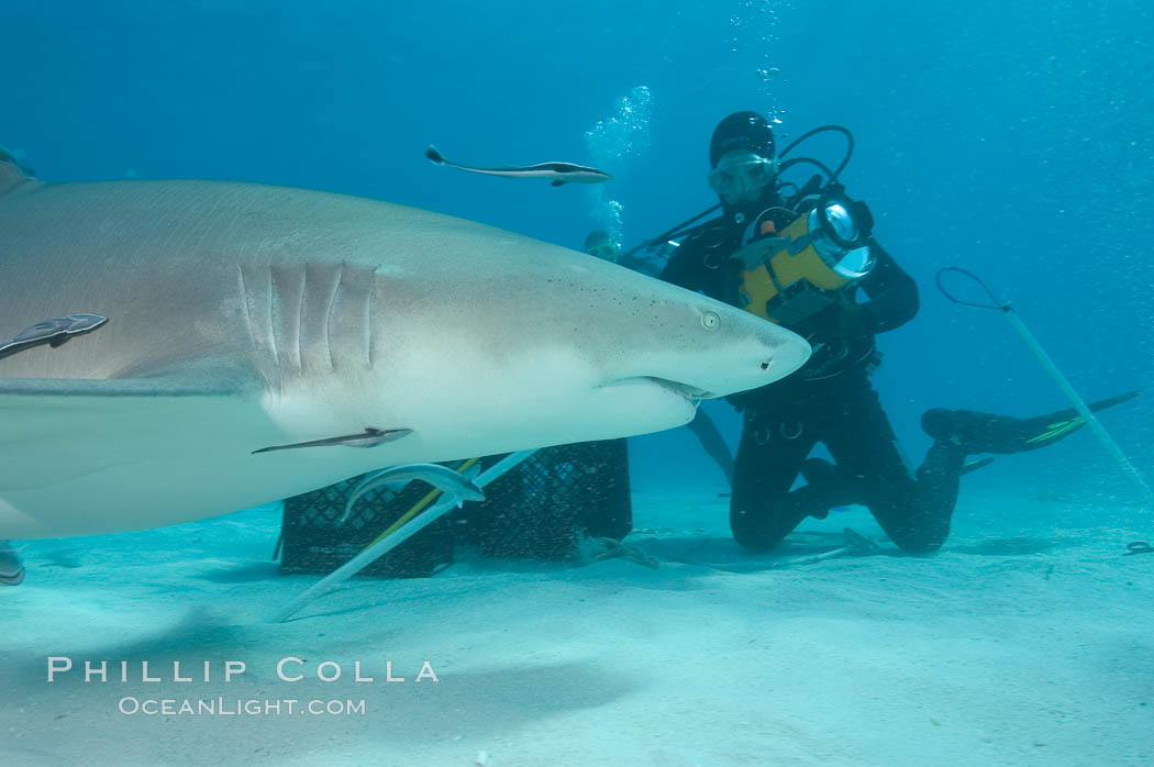 Lemon shark investigates a box of bait tended by a videographer. Bahamas, Negaprion brevirostris, natural history stock photograph, photo id 10801