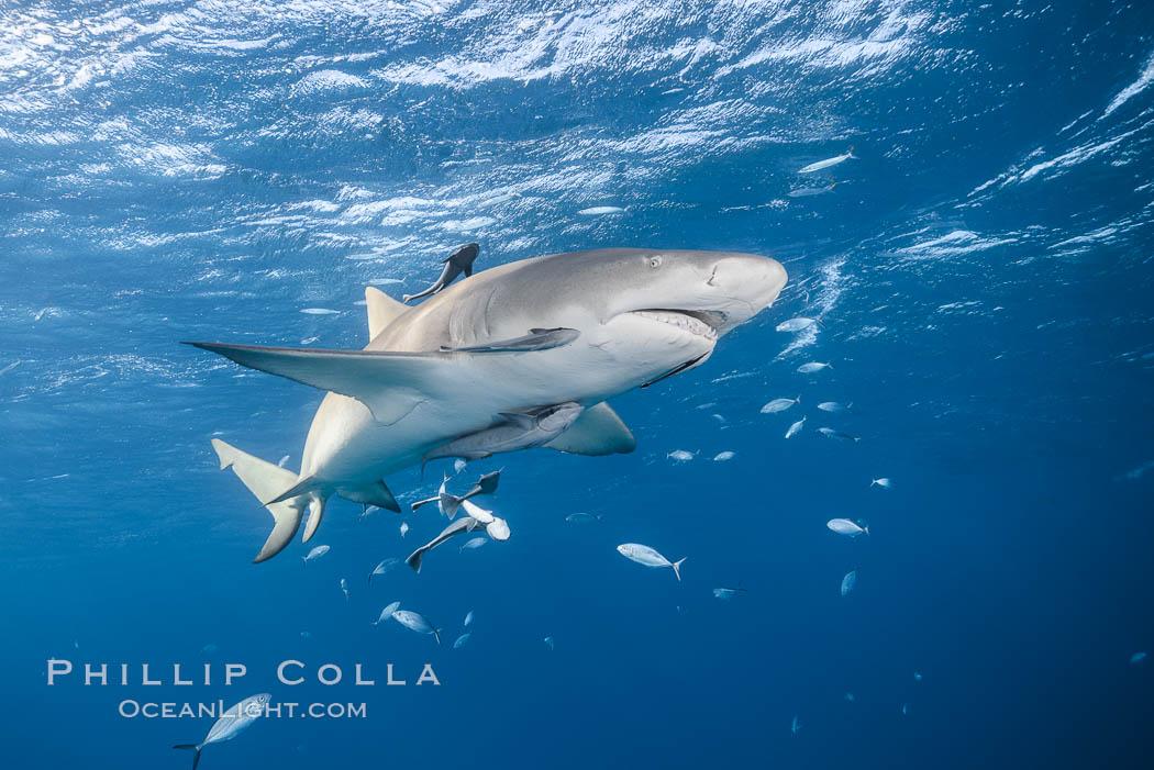 Lemon shark. Bahamas, Negaprion brevirostris, natural history stock photograph, photo id 32014