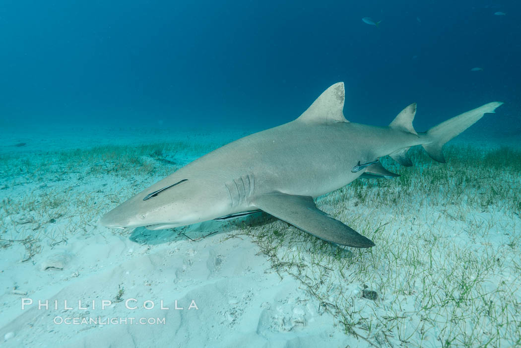 Lemon shark. Bahamas, Negaprion brevirostris, natural history stock photograph, photo id 32026