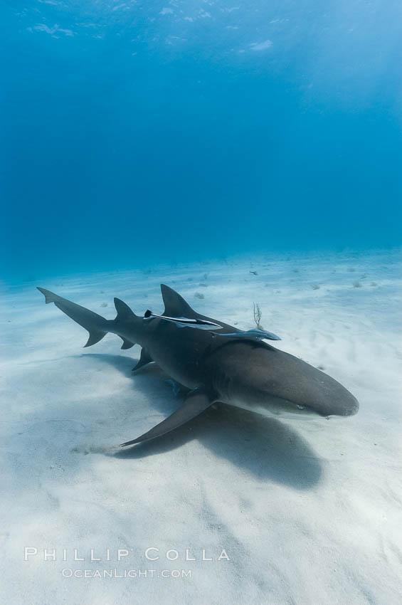 Image 10766, Lemon shark. Bahamas, Negaprion brevirostris
