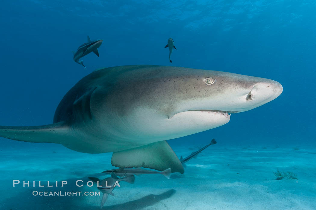 Image 10770, Lemon shark. Bahamas, Negaprion brevirostris, Phillip Colla, all rights reserved worldwide. Keywords: animal, animalia, atlantic, bahamas, brevirostris, carcharhinidae, carcharhiniformes, chondrichthyes, chordata, danger, elasmobranch, elasmobranchii, fear, jaws, lemon shark, negaprion, negaprion brevirostris, ocean, oceans, outdoors, outside, predator, risk, sea, shark, submarine, underwater, vertebrata, wildlife.