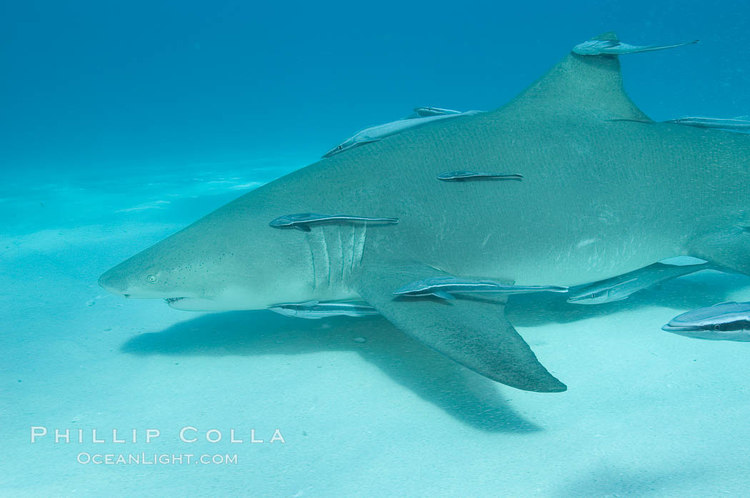 Lemon shark with live sharksuckers. Bahamas, Negaprion brevirostris, Echeneis naucrates, natural history stock photograph, photo id 10786