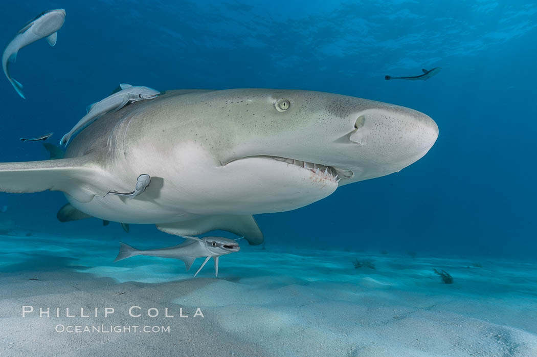 Lemon shark with live sharksuckers. Bahamas, Negaprion brevirostris, Echeneis naucrates, natural history stock photograph, photo id 10765