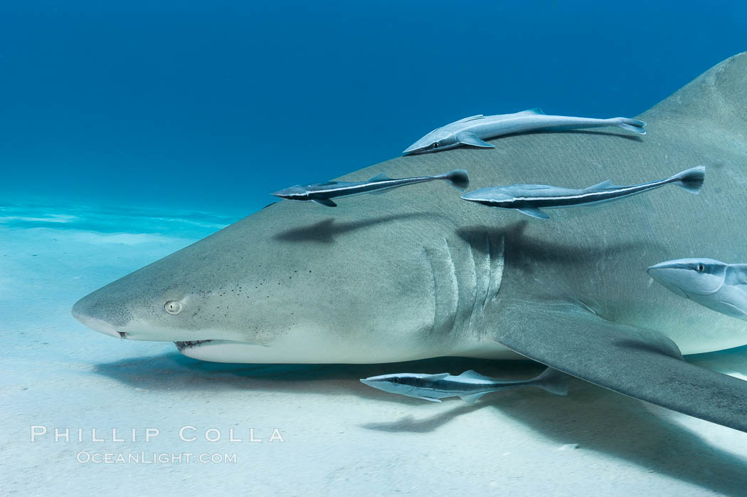 Image 10752, Lemon shark with live sharksuckers. Bahamas, Negaprion brevirostris, Echeneis naucrates