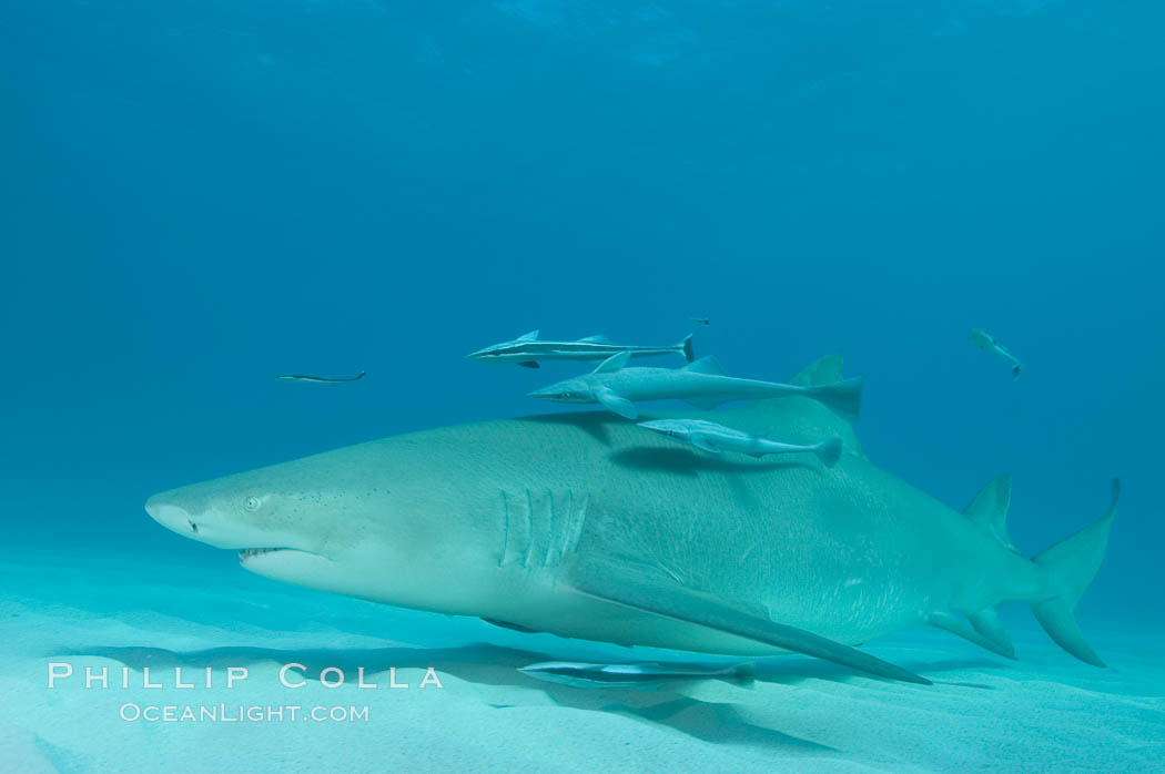 Lemon shark with live sharksuckers. Bahamas, Negaprion brevirostris, Echeneis naucrates, natural history stock photograph, photo id 10798