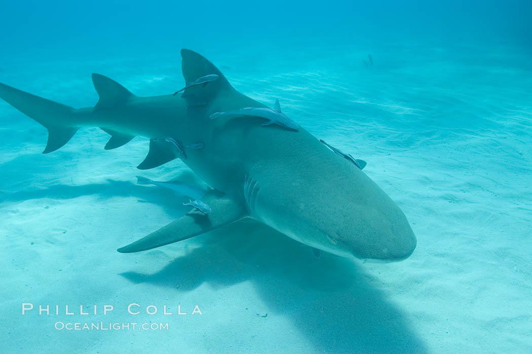 Lemon shark. Bahamas, Negaprion brevirostris, natural history stock photograph, photo id 10810