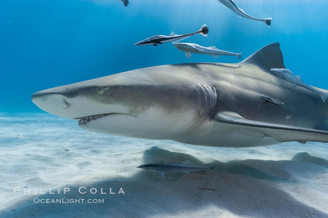 Lemon shark with live sharksuckers. Bahamas, Negaprion brevirostris, Echeneis naucrates, natural history stock photograph, photo id 10789