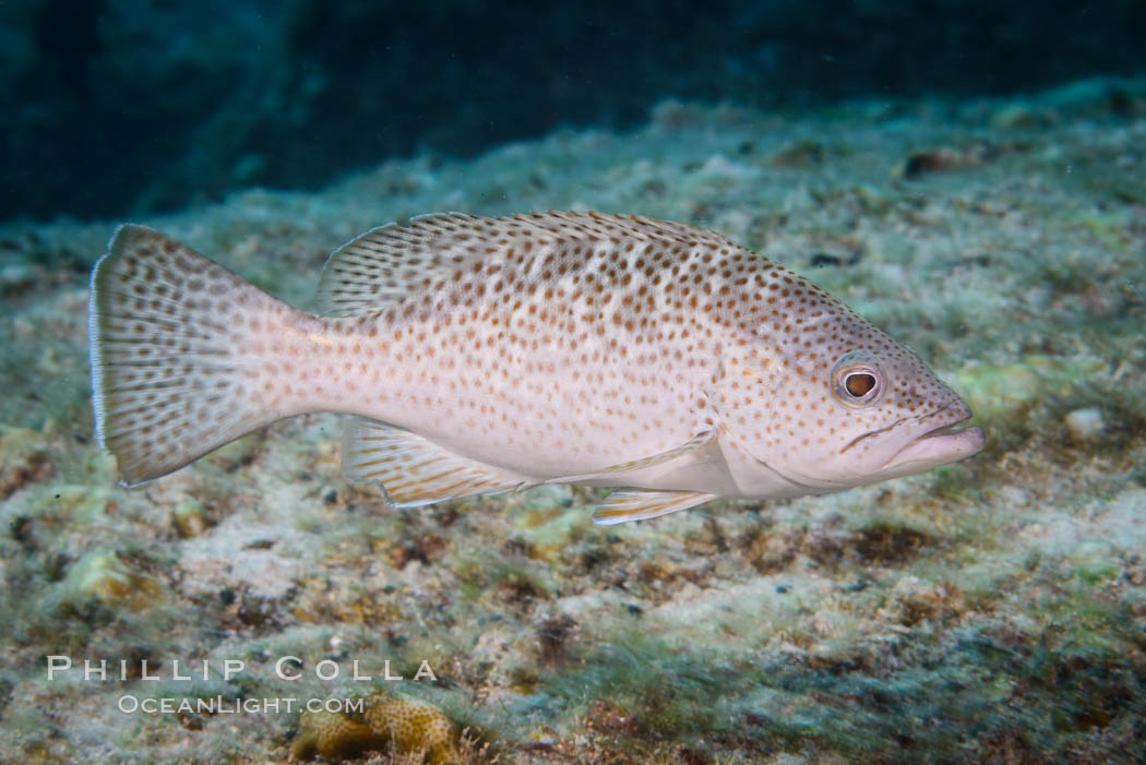 Leopard grouper Mycteroperca rosacea,  Sea of Cortez. Isla San Francisquito, Baja California, Mexico, natural history stock photograph, photo id 33654