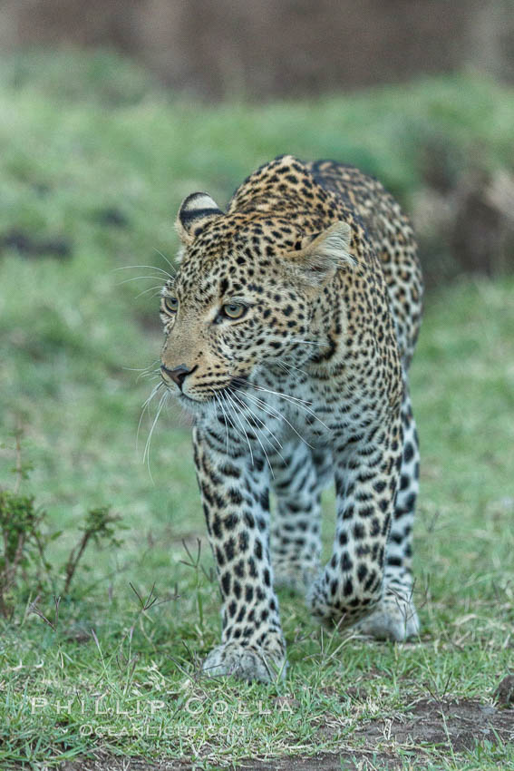 Leopard, Olare Orok Conservancy, Kenya., Panthera pardus, natural history stock photograph, photo id 30034