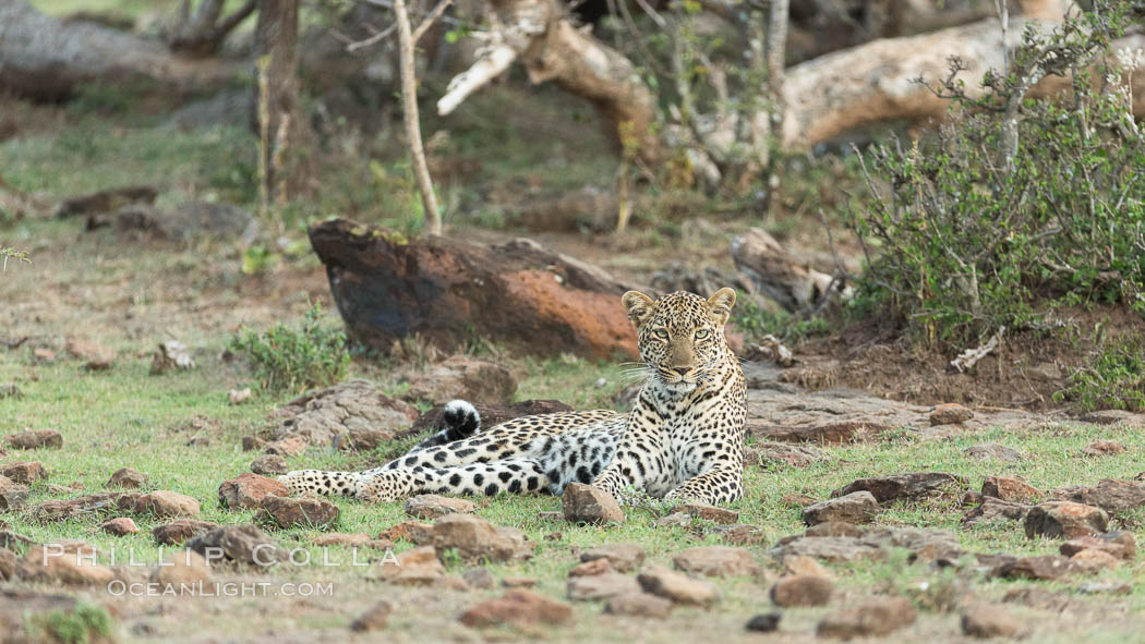 Leopard, Olare Orok Conservancy, Kenya., Panthera pardus, natural history stock photograph, photo id 30078