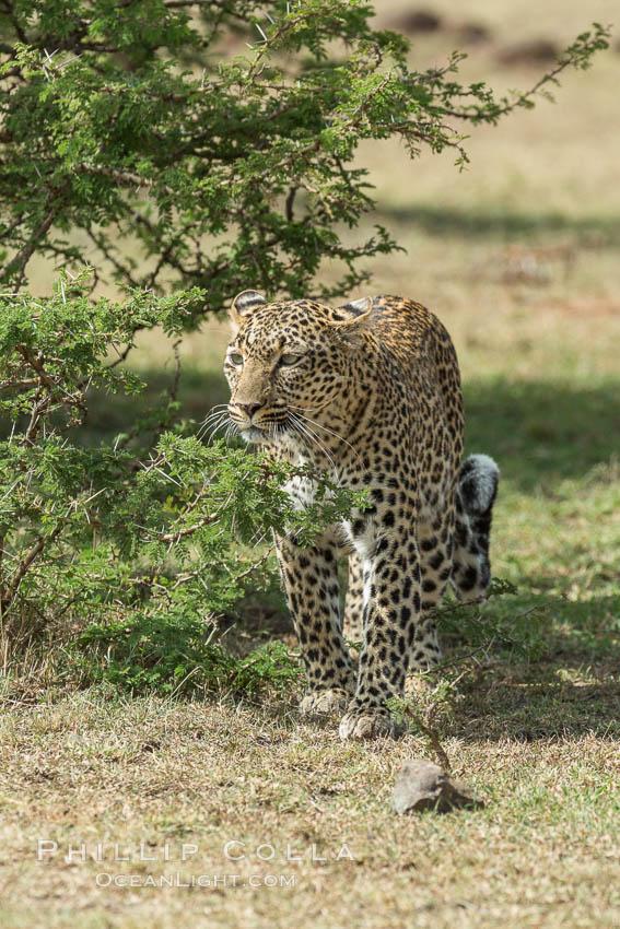 Leopard, Olare Orok Conservancy, Kenya. Olare Orok Conservancy, Kenya, Panthera pardus, natural history stock photograph, photo id 30056