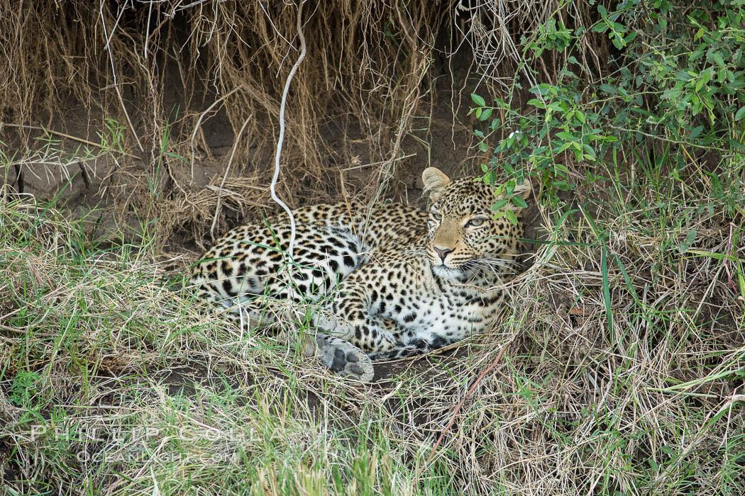 Leopard, Olare Orok Conservancy, Kenya. Olare Orok Conservancy, Kenya, Panthera pardus, natural history stock photograph, photo id 30023