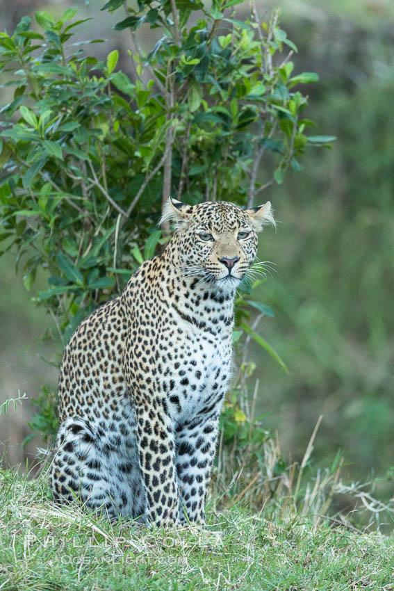 Leopard, Olare Orok Conservancy, Kenya. Olare Orok Conservancy, Kenya, Panthera pardus, natural history stock photograph, photo id 30031