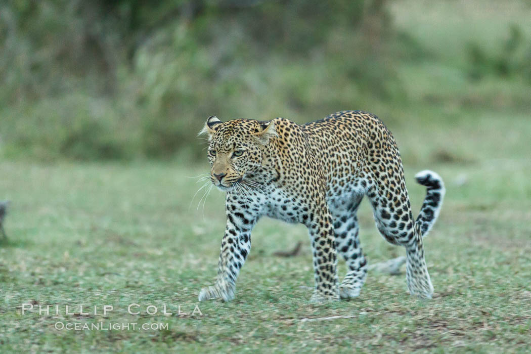 Leopard, Olare Orok Conservancy, Kenya., Panthera pardus, natural history stock photograph, photo id 30039
