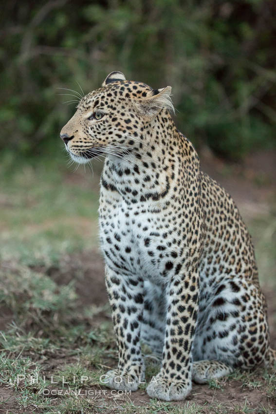 Leopard, Olare Orok Conservancy, Kenya., Panthera pardus, natural history stock photograph, photo id 30043