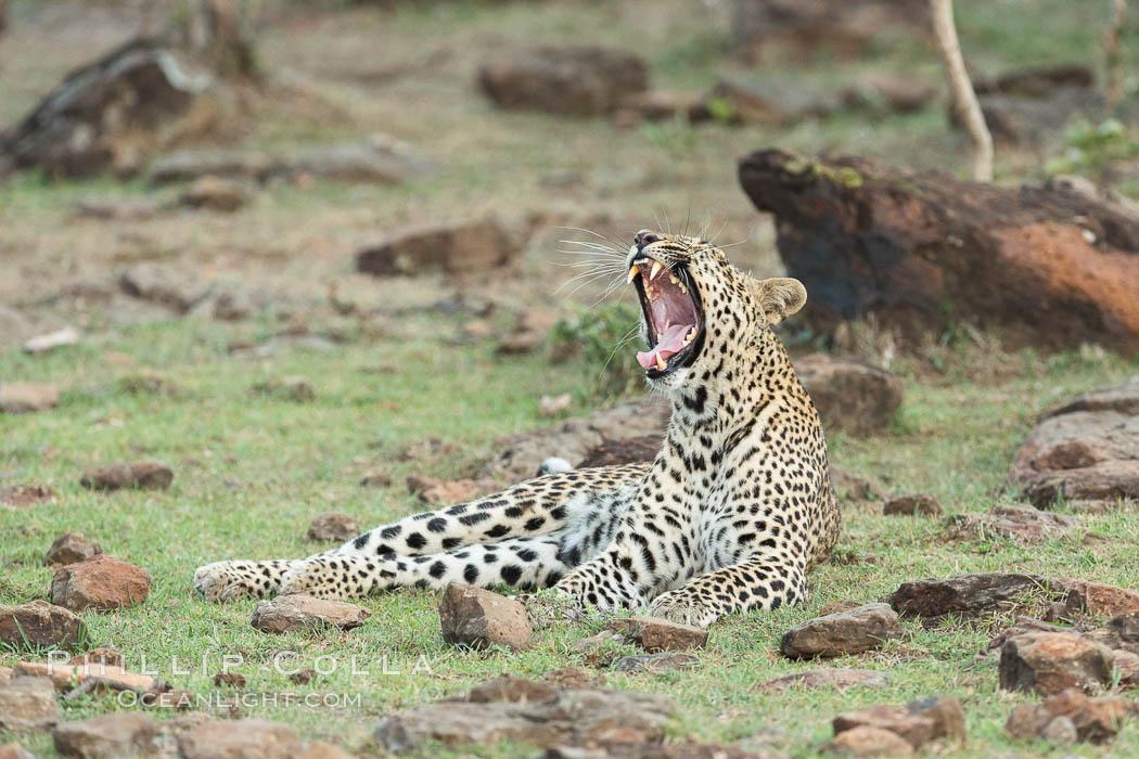 Leopard, Olare Orok Conservancy, Kenya. Olare Orok Conservancy, Kenya, Panthera pardus, natural history stock photograph, photo id 30079