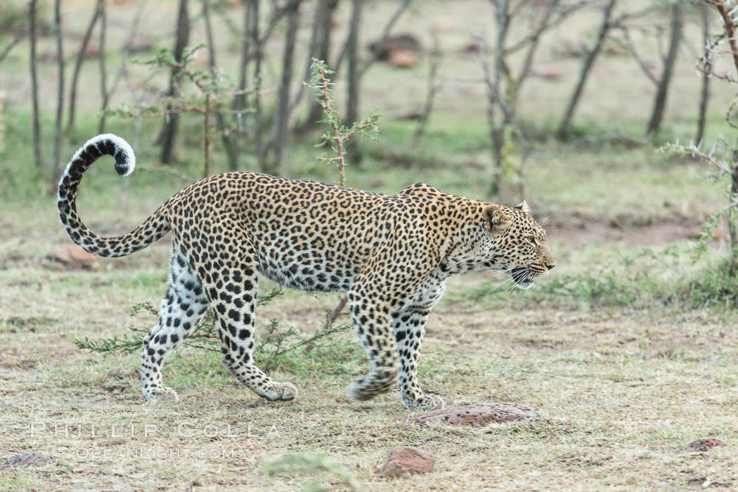 Leopard, Olare Orok Conservancy, Kenya., Panthera pardus, natural history stock photograph, photo id 30087
