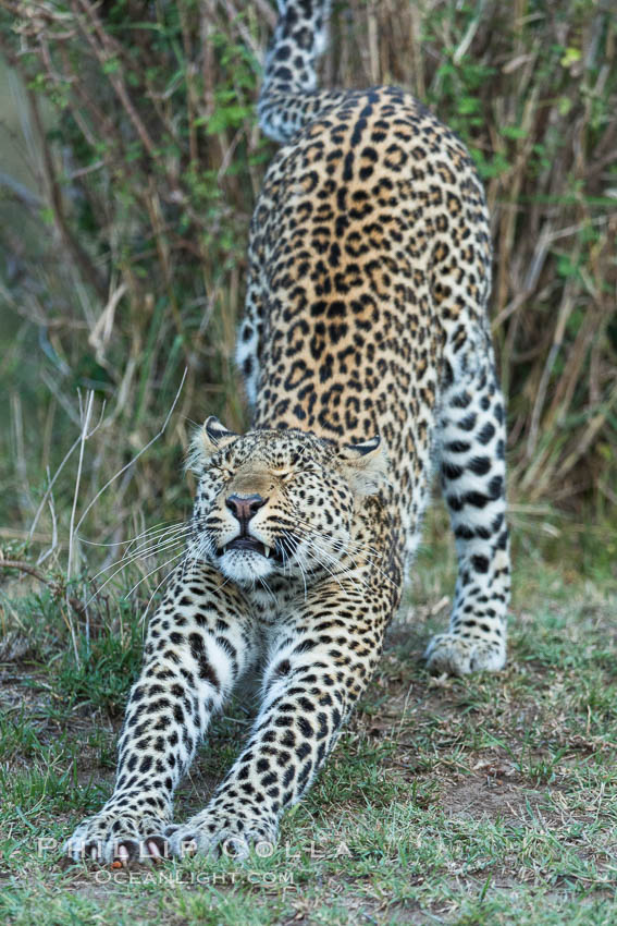 Leopard, Olare Orok Conservancy, Kenya., Panthera pardus, natural history stock photograph, photo id 30029
