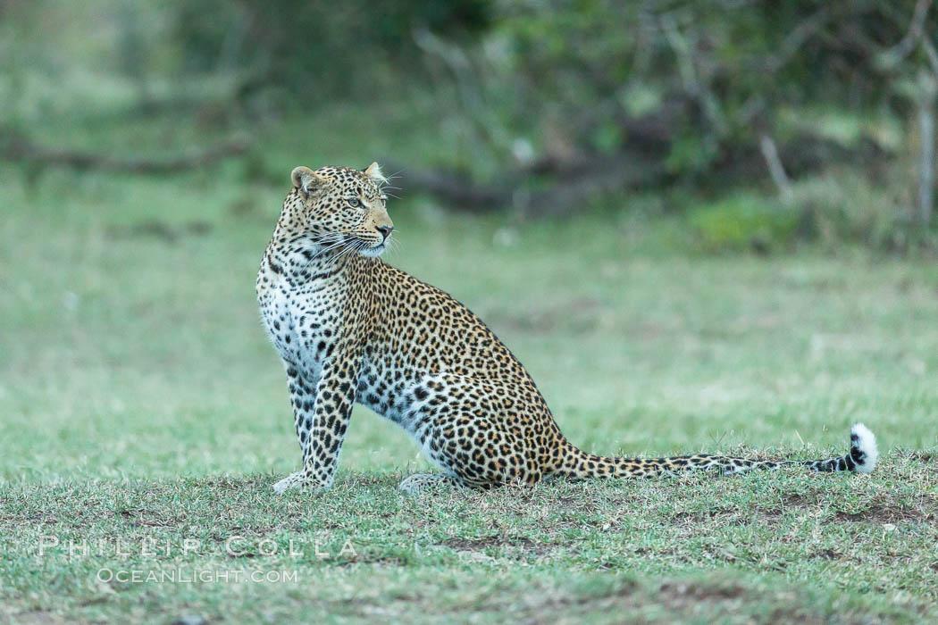 Leopard, Olare Orok Conservancy, Kenya. Olare Orok Conservancy, Kenya, Panthera pardus, natural history stock photograph, photo id 30037