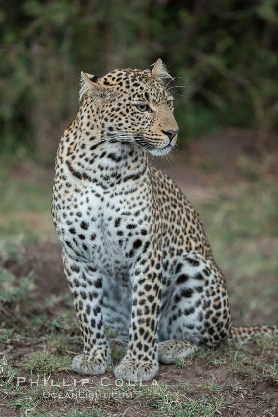 Leopard, Olare Orok Conservancy, Kenya., Panthera pardus, natural history stock photograph, photo id 30045