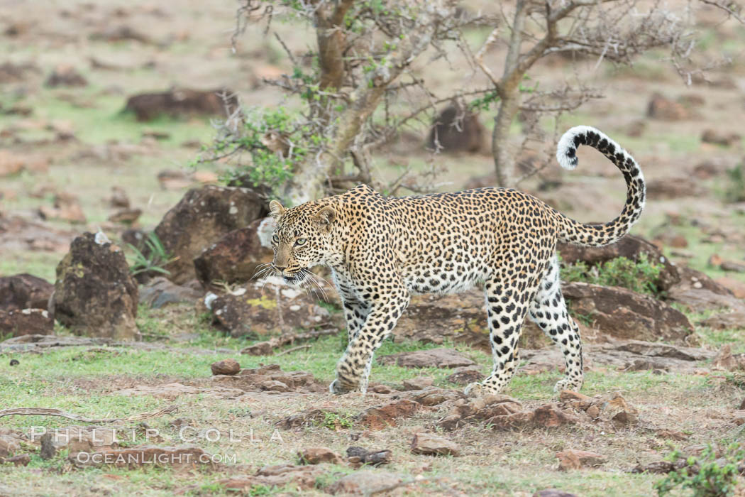 Leopard, Olare Orok Conservancy, Kenya., Panthera pardus, natural history stock photograph, photo id 30085