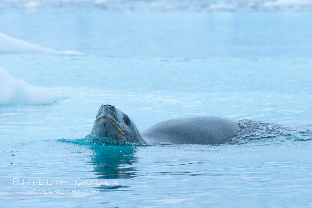 A leopard seal in Antarctica.  The leopard seal is a large predatory seal, up to 1300 lb and 11 ft in length, feeding on krill, squid, fish, various penguin species and other seabirds and occasionally, other pinnipeds. Cierva Cove, Antarctic Peninsula, Antarctica, Hydrurga leptonyx, natural history stock photograph, photo id 25526