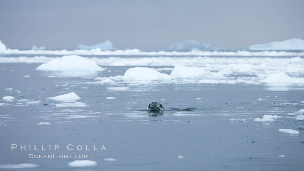 A leopard seal in Antarctica.  The leopard seal is a large predatory seal, up to 1300 lb and 11 ft in length, feeding on krill, squid, fish, various penguin species and other seabirds and occasionally, other pinnipeds. Cierva Cove, Antarctic Peninsula, Antarctica, Hydrurga leptonyx, natural history stock photograph, photo id 25575