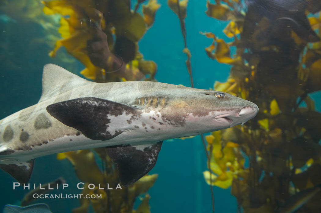 Leopard shark swims through a kelp forest., Triakis semifasciata, natural history stock photograph, photo id 14028