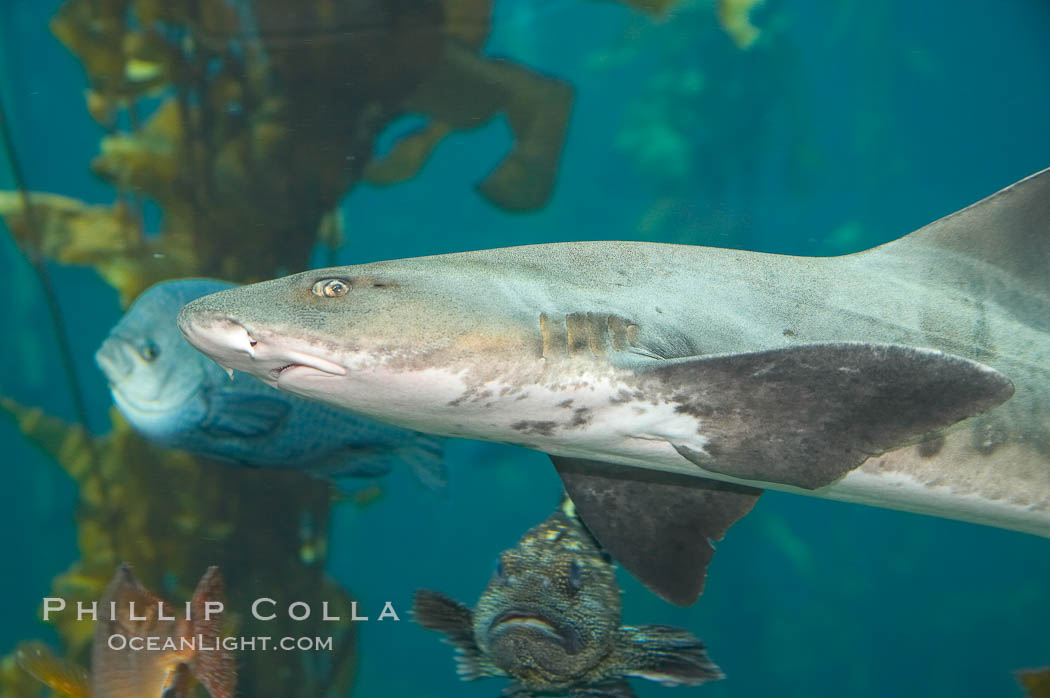 Leopard shark swims through a kelp forest., Triakis semifasciata, natural history stock photograph, photo id 14032