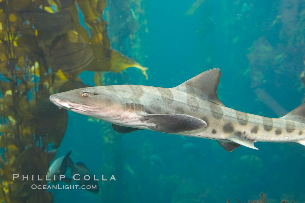 Leopard shark swims through a kelp forest., Triakis semifasciata, natural history stock photograph, photo id 14029