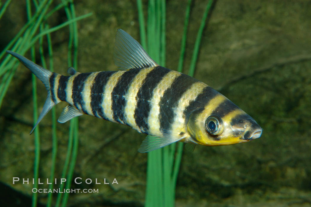 Image 09274, Headstander., Leporinus affinis, Phillip Colla, all rights reserved worldwide. Keywords: animal, black-banded leporinus, fish, freshwater fish, headstander, leporinus affinis, leporinus fasciatus, underwater.
