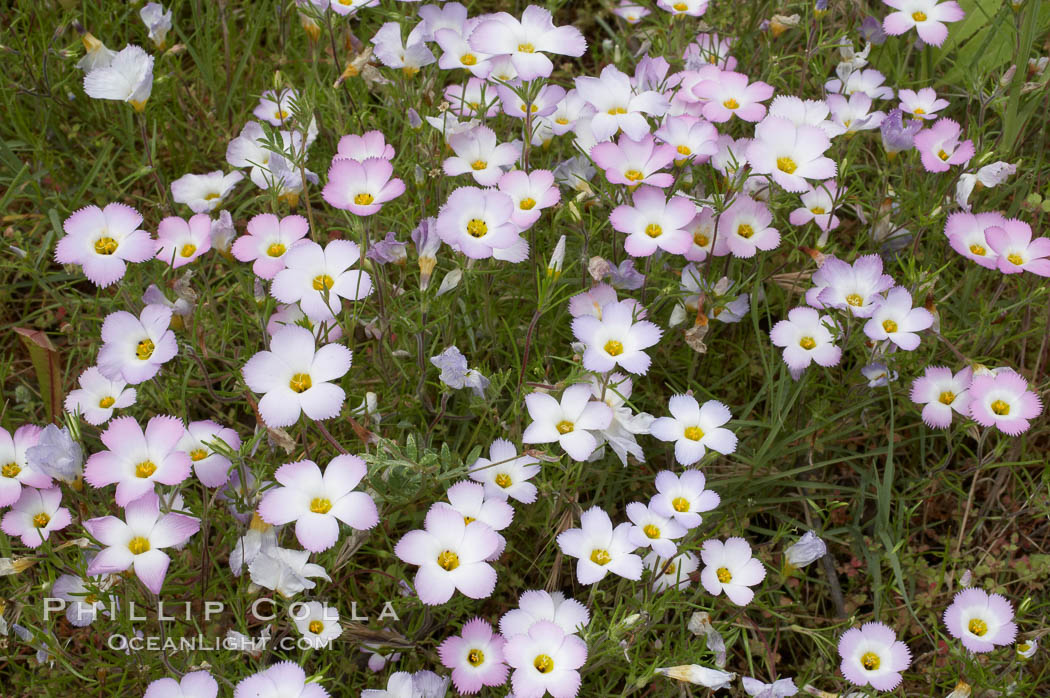 Ground pink blooms in spring, Batiquitos Lagoon, Carlsbad. Batiquitos Lagoon, Carlsbad, California, USA, Linanthus dianthiflorus, natural history stock photograph, photo id 11494