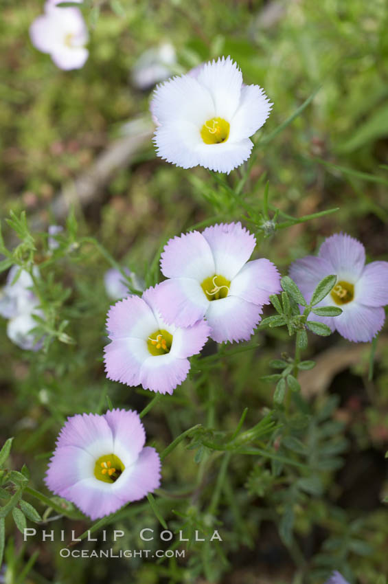 Ground pink blooms in spring, Batiquitos Lagoon, Carlsbad. Batiquitos Lagoon, Carlsbad, California, USA, Linanthus dianthiflorus, natural history stock photograph, photo id 11488