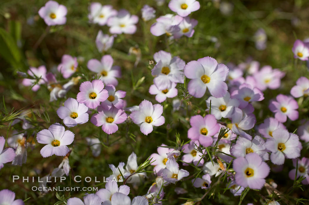 Ground pink blooms in spring, Batiquitos Lagoon, Carlsbad. Batiquitos Lagoon, Carlsbad, California, USA, Linanthus dianthiflorus, natural history stock photograph, photo id 11500