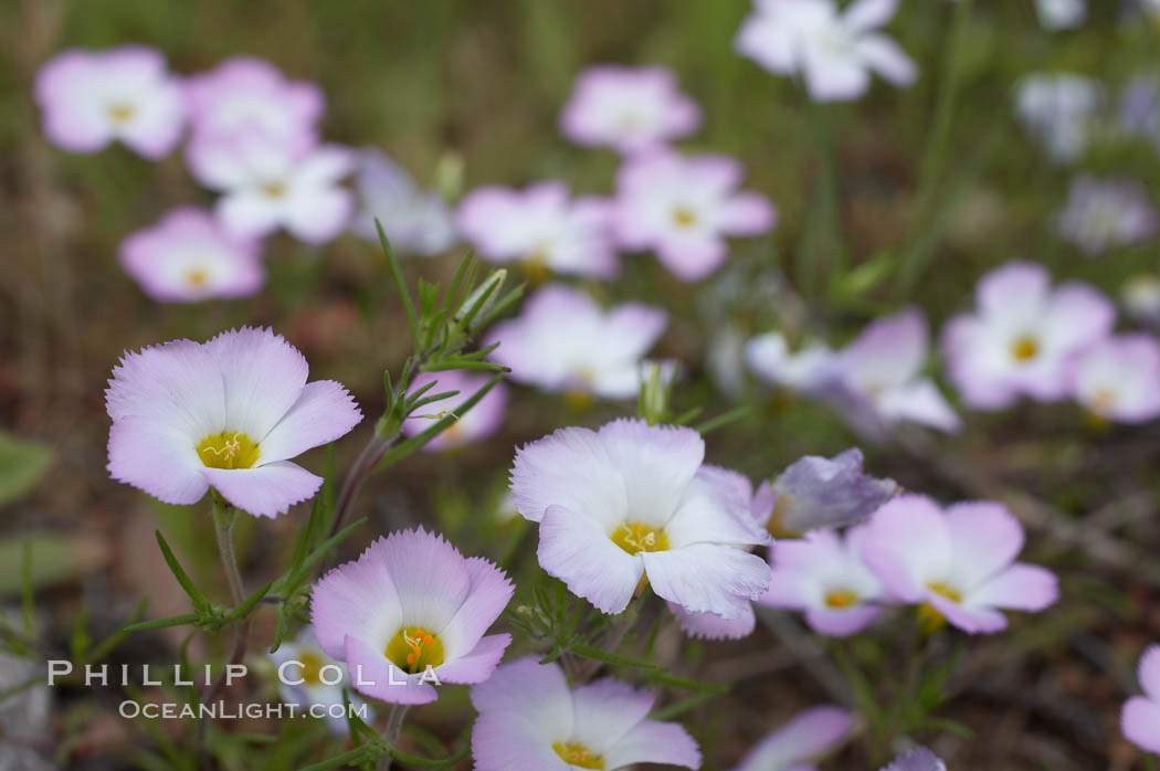 Ground pink blooms in spring, Batiquitos Lagoon, Carlsbad. California, USA, Linanthus dianthiflorus, natural history stock photograph, photo id 11491