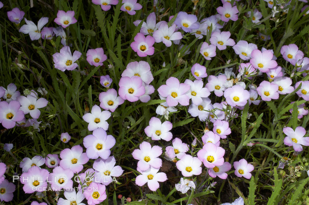 Ground pink blooms in spring, Batiquitos Lagoon, Carlsbad. Batiquitos Lagoon, Carlsbad, California, USA, Linanthus dianthiflorus, natural history stock photograph, photo id 11515