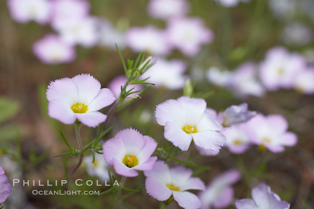 Ground pink blooms in spring, Batiquitos Lagoon, Carlsbad. Batiquitos Lagoon, Carlsbad, California, USA, Linanthus dianthiflorus, natural history stock photograph, photo id 11497