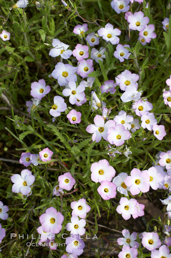 Image 11509, Ground pink blooms in spring, Batiquitos Lagoon, Carlsbad. Batiquitos Lagoon, Carlsbad, California, USA, Linanthus dianthiflorus