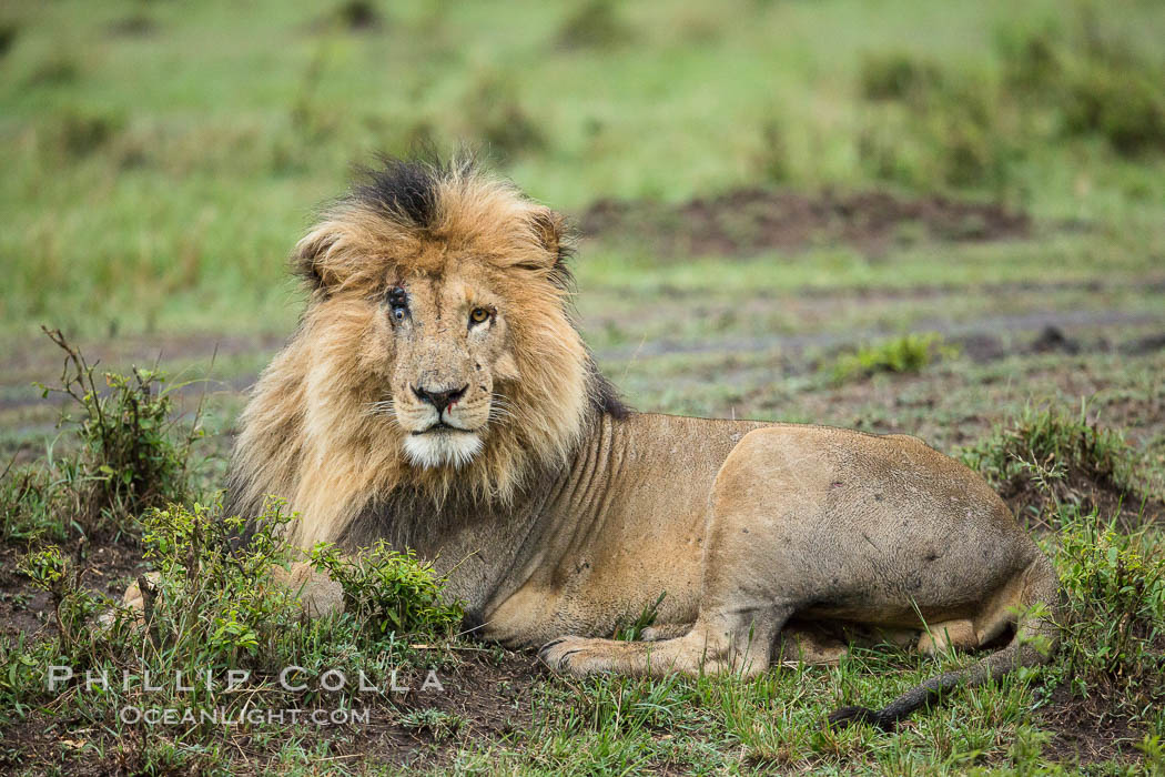 Lion, adult male, Maasai Mara National Reserve, Kenya., Panthera leo, natural history stock photograph, photo id 29786