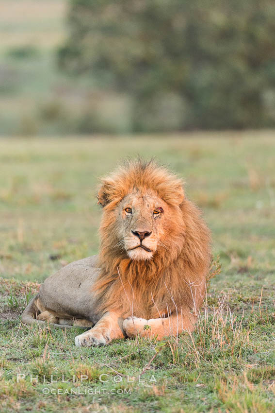 Lion, adult male, Olare Orok Conservancy, Kenya. Olare Orok Conservancy, Kenya, Panthera leo, natural history stock photograph, photo id 29988