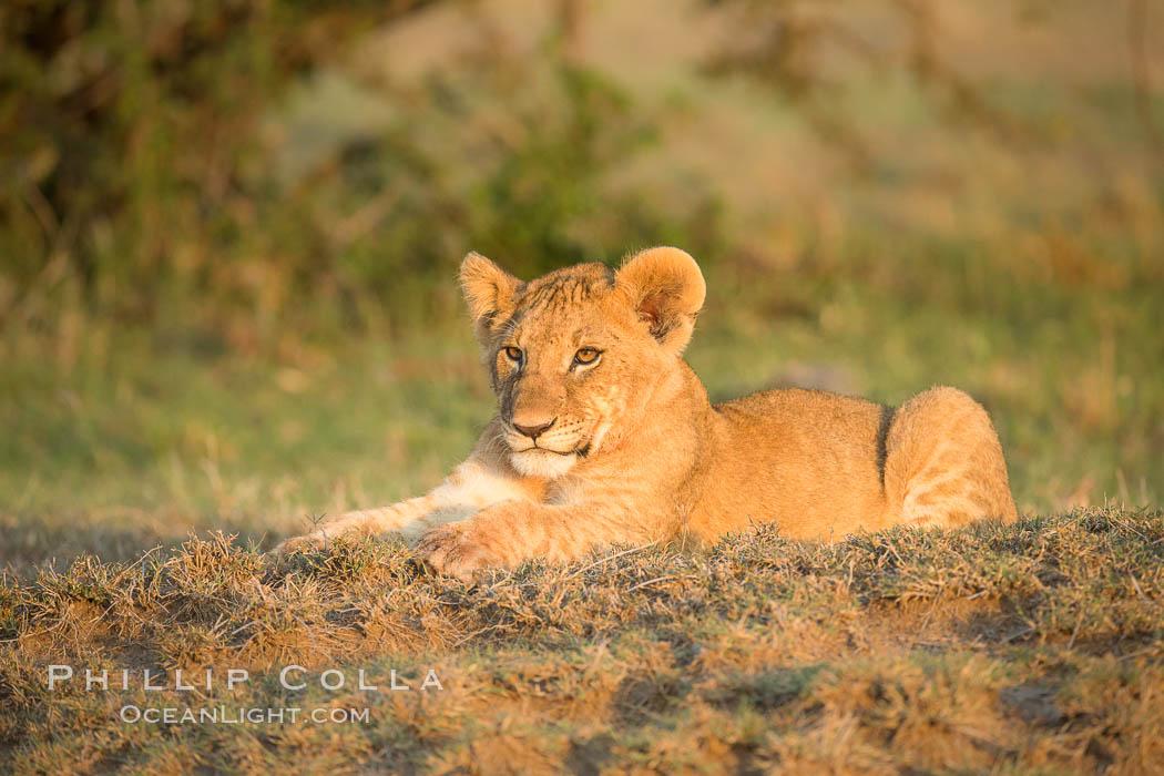 Lion cub, Olare Orok Conservancy, Kenya. Olare Orok Conservancy, Kenya, Panthera leo, natural history stock photograph, photo id 30119