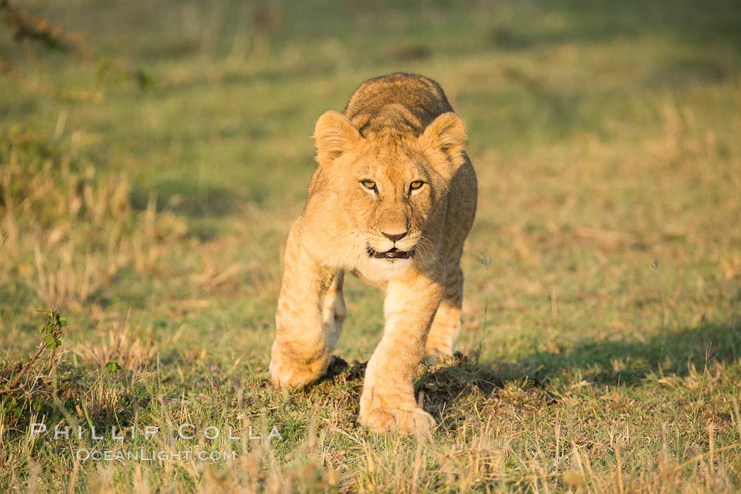 Lion cub, Olare Orok Conservancy, Kenya., Panthera leo, natural history stock photograph, photo id 30125