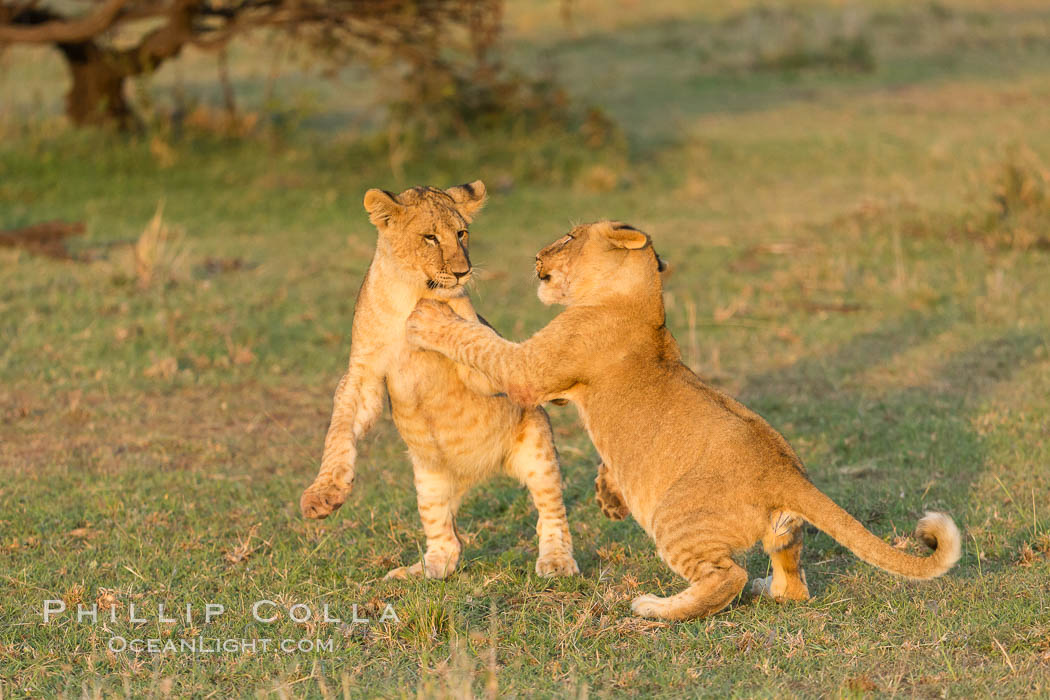Lion cubs, Olare Orok Conservancy, Kenya., Panthera leo, natural history stock photograph, photo id 30118