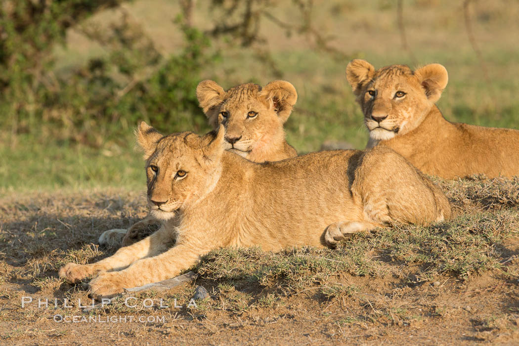 Lion cubs, Olare Orok Conservancy, Kenya. Olare Orok Conservancy, Kenya, Panthera leo, natural history stock photograph, photo id 30128