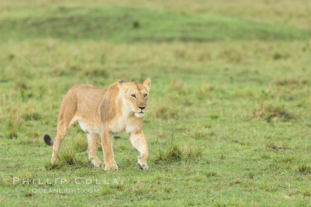 Lion female, Maasai Mara National Reserve, Kenya., Panthera leo, natural history stock photograph, photo id 29859